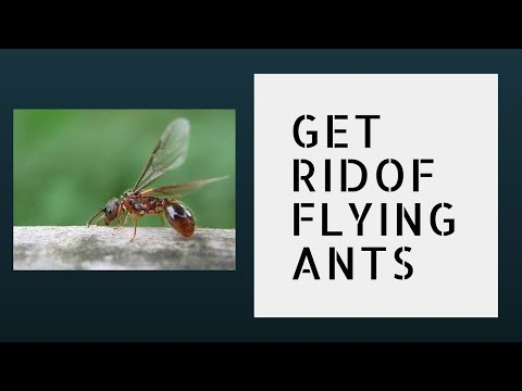 How to get rid of flying ants in house