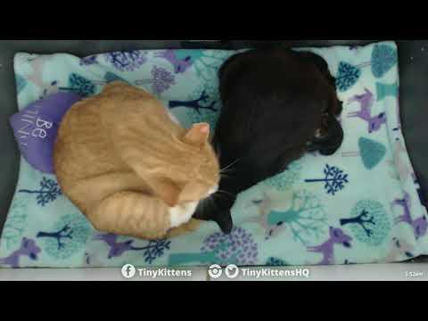 Chloe giving birth with Ramona's help!  Kittens 1 & 2