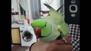Download طوطی سخنگو / speaking parrot Video