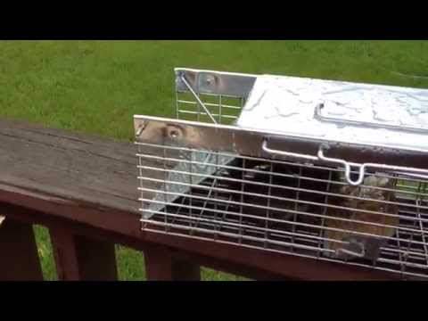 How to Catch Squirrels with a Live Cage