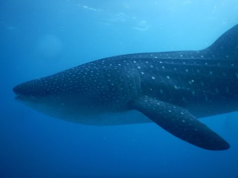 Palawan & Cozumel - Whale Shark Diving