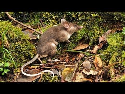 New Rat Species Boasts Long Pubes