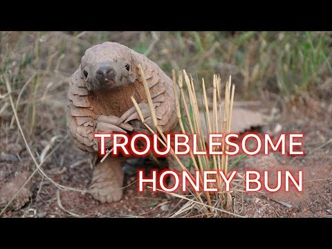 Honey Bun the pangolin: The naughty 'dinosaur' you've never heard of - BBC