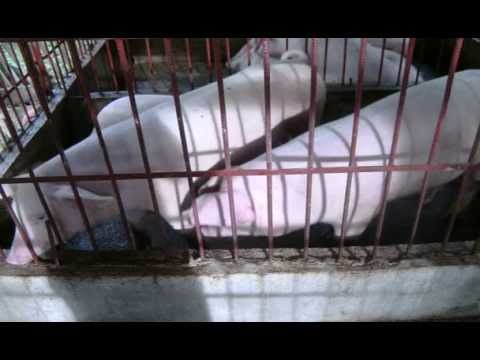 pigs and biogas in the philippines(corrected)