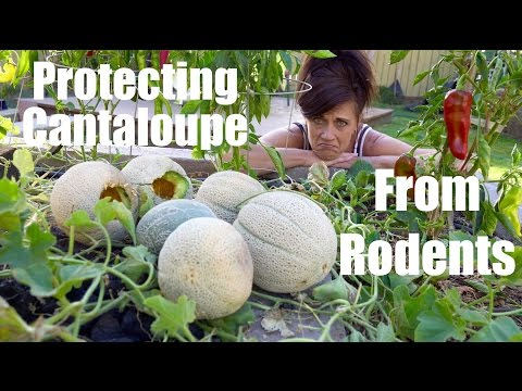 2 Easy Ways To Protect Cantaloupe & Melons from Rodents // CaliKim Cam