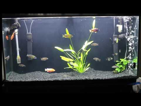 Dying fish? I may have your solution. Also, Pet store vs breeder Peacock cichlid