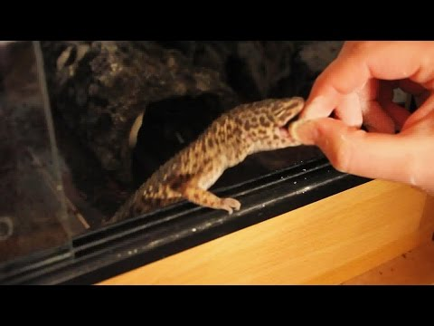 How Bad is a Leopard Gecko Bite?!