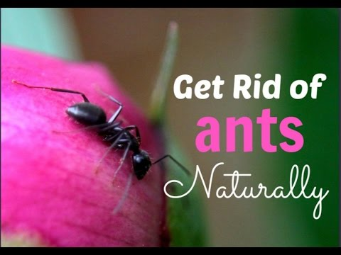 Natural remedies,Home remedies,Natural Ways- How To Get Rid of Ants Naturally!!!
