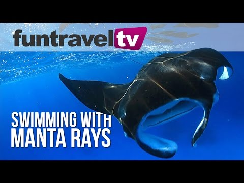 Swimming with Manta Rays Lady Elliot Island Great Barrier Reef Queensland Australia
