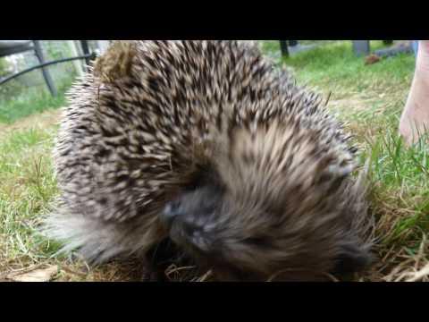 Wild hedgehog self-anointing