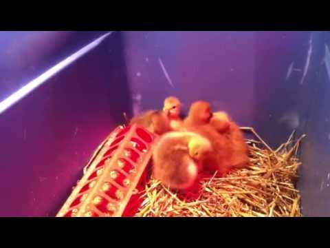 New babies: poults, goslings and chicks