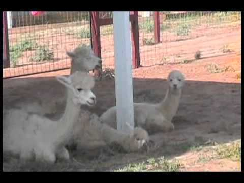 Alpacas for Profit