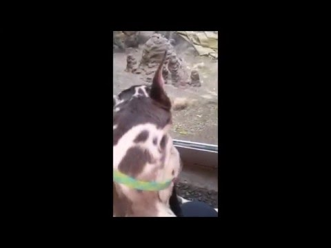 STL Zoo Animals' Reactions to a Service Dog