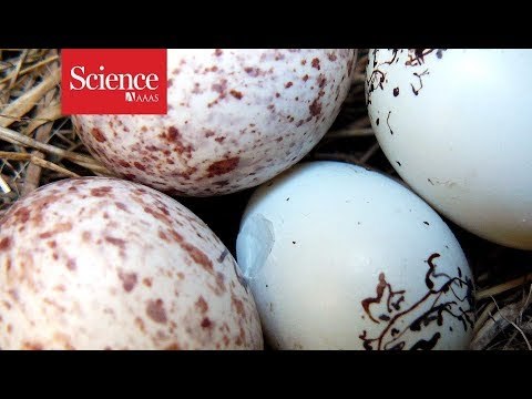 Snippet: Cowbird eggshells could double as deadly weapons