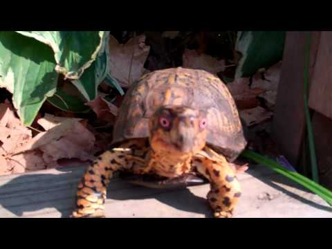 Sparky- box turtle care-outside enclosure with high rise house