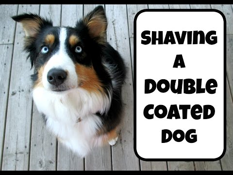 Should you shave a dog breed with a double coat? |Life With Aspen|