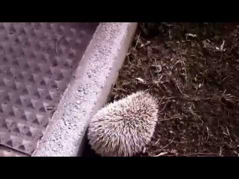 Pygmy Hedgehogs hibernate in Wellington Boots