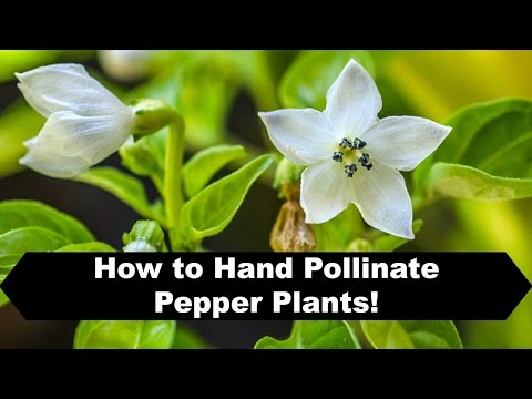 How to Pollinate Peppers Indoors and Prevent Flower Drop!