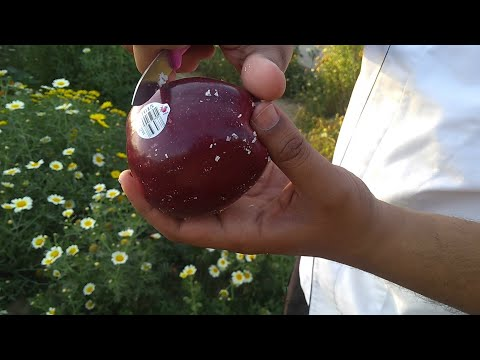 What is this on World's best Washington Apples? | English | by Chef Kunal Sain