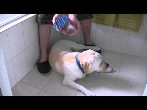 Brushing a Labrador - coat shedding / moulting