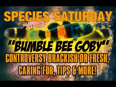Species Saturday: Bumble Bee Goby | Controversy Brackish or Fresh, Tips +