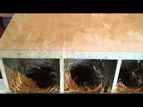 SNAKE IN THE CHICKEN COOP
