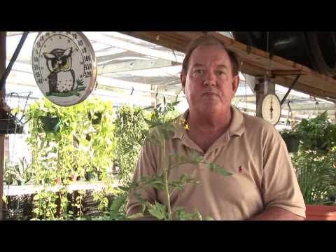 How to Care for Tomato Plants
