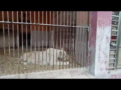 Karachi Zoo Latest Video Lion Eating Meat Youtube 2016-2017