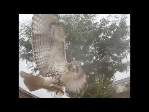 Falconry Trapping 2017 Season (1)
