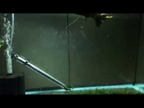 Boesmani Rainbowfish Fry Update 8 weeks old now