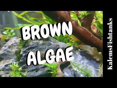 How To Destroy Brown Algae/ Diatoms / Beginners guide to Planted Aquariums EP #5