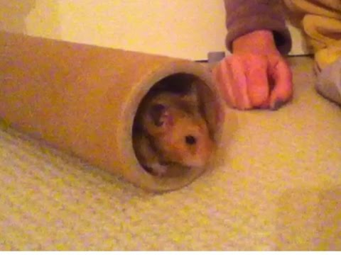 Happy  Syrian hamster squeaking like a little rubber duck