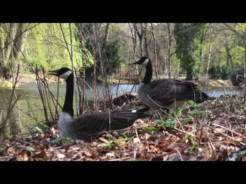 canada goose sounds