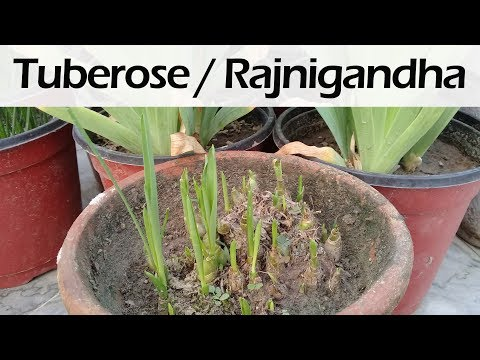 How to grow tuberose from bulb | Rajnigandha | How to care polianthes tuberosa
