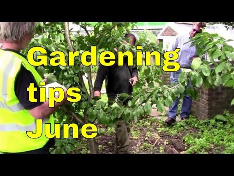 Gardening Tips June - pruning cherry & fruit trees - pruning prunus cherry trees UK