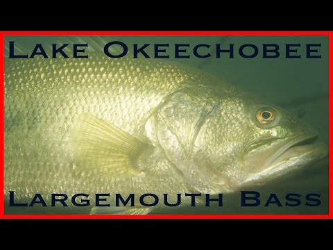Lake Okeechobee Largemouth Bass! Catch, Fillet, Cook and EAT!!!