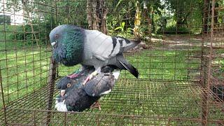 Cuban Pouter - Mated 7 times - Virgin Hen