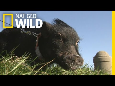 Tiniest Pet Pig -- Huckleberry Fin | World's Smallest Pets