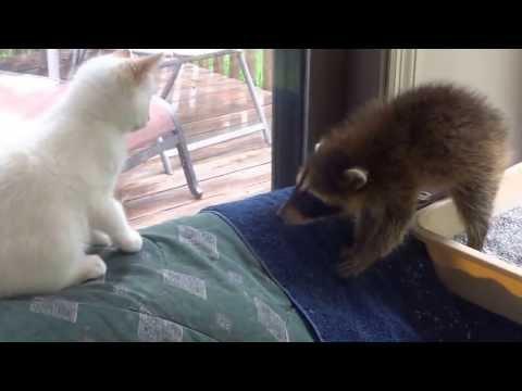 Baby raccoon and kitten