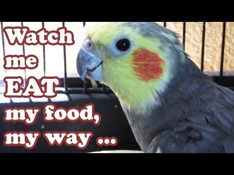 Cockatiel Cockateil Bird Cage Eating - Healthy Foods Cockatiels Birds - Animals Pets Jazevox Video