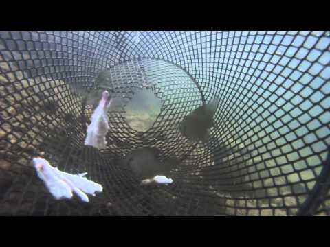 Catching Fish from a Minnow Trap - POV