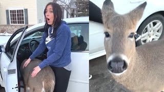 Wild Deer Is Extremely Friendly