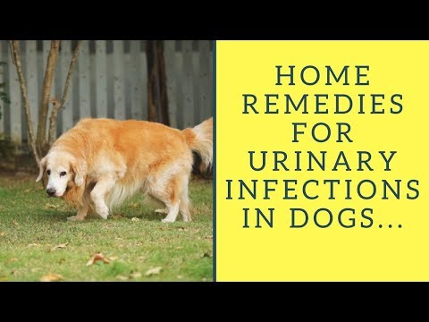 Home Remedies for Urinary Infections in Dogs