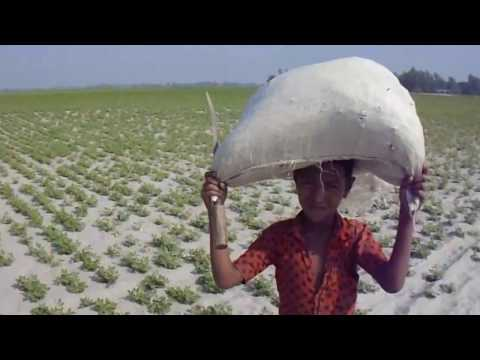 Peanut cultivation in Bangladesh | growing peanuts in gaibandha district
