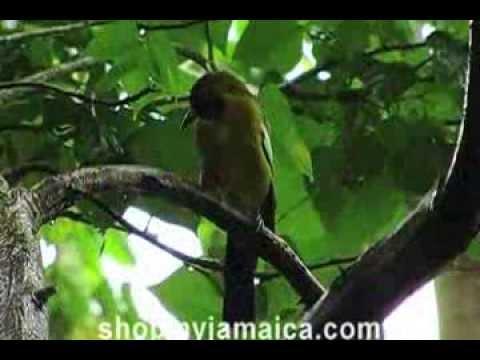 Rocklands Bird Feeding Sanctuary, Jamaica
