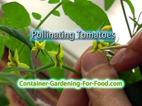 Pollinating Tomatoes (hydroponic)