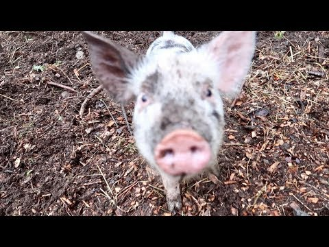 Piglets gets to play in the Mud (It Rained a ton while I was at work)