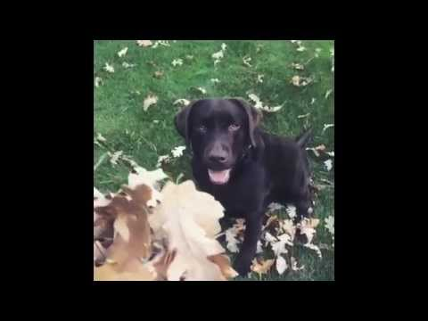 Labrador playing in the leaves - SLO-MO