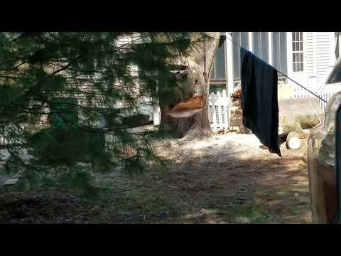 Arbor Al making the felling cut on large diameter tree