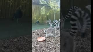 Harold the peacock pays a visit to our lemurs!